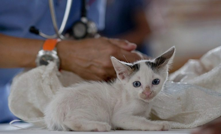 Černé tečky na bradě ukočky – kočičí akné